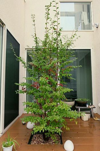 ツバキ科の落葉高木であるヒメシャラは、大きく育てば10メートルを越える樹高になります。日当たりの良いところか半日陰を好みますが、強い直射日光と乾燥が苦手なので、中庭や坪庭に植えても良いですね。こちらは少し紅葉が始まった頃。葉の色付きでしみじみ季節を感じられるのも魅力です。