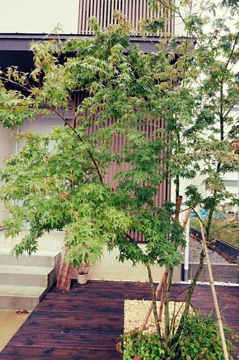 ウッド調の家の外観に、枝振りの良いモミジがよく映えています。青い葉も綺麗ですが、紅葉が深まる季節にはさらに風情が増しそうです。お寺など昔ながらの和のお庭に植えられているイメージが強いモミジも、こうして見るとモダンな雰囲気にもとてもマッチしていますね。