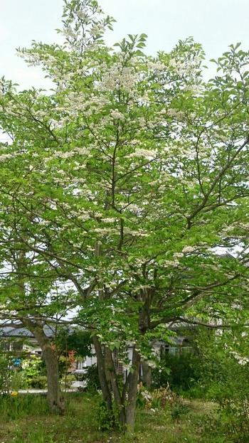 大きく育つと、堂々と広がる枝振りを見せてくれるエゴノキ。雑木林などにも広く自生している木で、育てる手間はあまりかかりません。初夏には枝の先にぶら下がるように咲く白い花をたくさんつけ、独特の美しい景観を作り出します。やや湿った環境が好きで、高さ5~7mに生長する木なので、なるべく広いスペースに植えてあげるのがおすすめです。