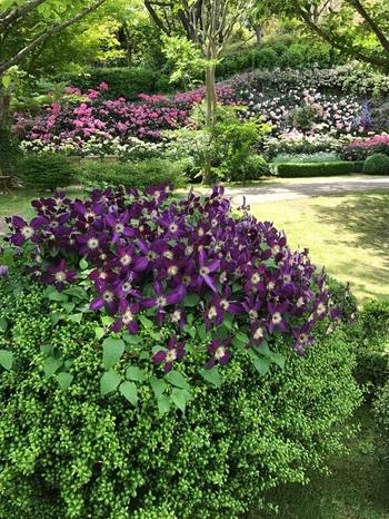 ヴァンジ彫刻庭園美術館周辺の庭は「クレマチスガーデン」として、春・夏・秋・冬、それぞれに咲くクレマチスが栽培されています。ベストシーズンは5~6月にになりますが、ここを訪れれば1年中、クレマチスの花を愛でることができるのが嬉しいですね。