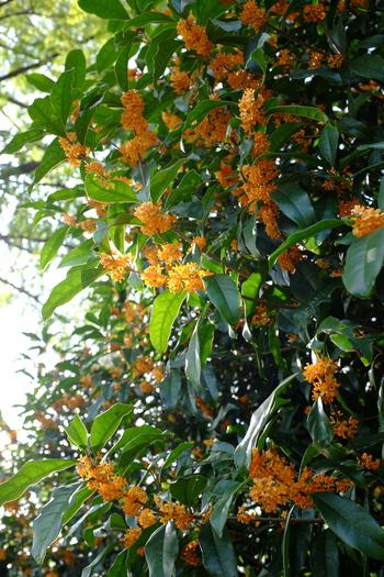 キンモクセイにオレンジ色の可愛らしい小花が鈴なりになる様子は、初秋を感じさせる風景のひとつです。丈夫で育てやすいため生け垣としてもよく使われ、そこにあるだけでふと振り向きたくなるような独特の甘い香りでお馴染みですね。育ちが良いと7~8mまで生長しますが、適度に摘芯すれば3mほどに抑えて育てることもできます。