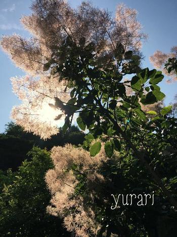 遠くから見ると煙を上げているように見えるスモークツリー。日本では「煙の木(ケムリノキ)」「霞の木(カスミノキ)」「白熊の木(ハグマノキ)」という別名を持っています。