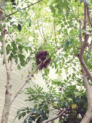 成長すると樹高が10メートルを軽く越えるシマトネリコ。美しい葉のそよぎとしなやかな立ち姿で人気のある常緑樹で、5月~6月になると枝先に白く小さな花をつけます。亜熱帯地方原産なので寒すぎる土地には向きませんが、基本的には丈夫で育てやすい木です。よく見ると、こちらのシマトネリコには可愛い鳥の巣が…!
