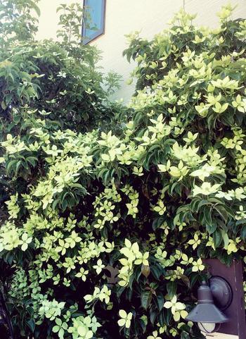 初夏になると枝先全体を覆うような白い花(正確には葉が変化した総苞)を開くヤマボウシも、シンボルツリーとしてよく好まれる落葉高木です。日当たり・水はけのよい場所を好みますが、乾燥の激しい環境はやや苦手。5~7月頃に花を咲かせ、9月頃には濃い甘みのある赤い実をつけます。秋には紅葉も楽しめますよ。