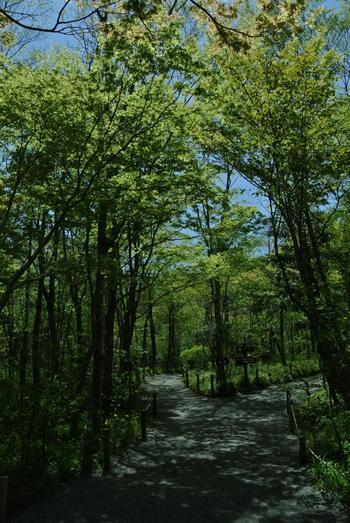 敷地面積約3万㎡にも及ぶ広大の園内には、歩きやすい木道の散策路が巡っています。低地から高山へ、初期の湿原から発達した湿原へと続く散策路を歩けば、仙石原の豊かな景観とともに、多種多様な植物を観賞出来ます。  【5月初旬の頃の木陰が涼やかな園内散策路。木々の下には、色とりどりの植物が生育している。】