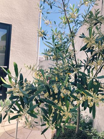 細長い独特の形をしたオリーブの葉は銀緑色で美しく、表と裏で微妙に色味が違うため、見る角度や風向きなどによって色々な表情を見せてくれます。地中海沿岸を原産とする樹木で、水はけのよい土と日当りが大好き。乾燥気味の環境を保ってあげるとよく育ちます。洋風の庭づくりにはぴったりのシンボルツリーです。