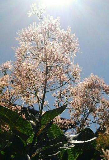 スモークツリーは太陽が大好き。日当たりと水はけの良い場所に地植えしてください。鉢植えにする場合は、根がどんどん伸びるので苗の1~2周り大きな鉢を使いましょう。