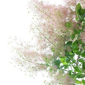 うっすらとした柔らかなピンク色で、繊細なふわふわ感がとってもラブリー。葉の緑色とのコントラストも美しく、スモークツリーの中では新しい品種です。