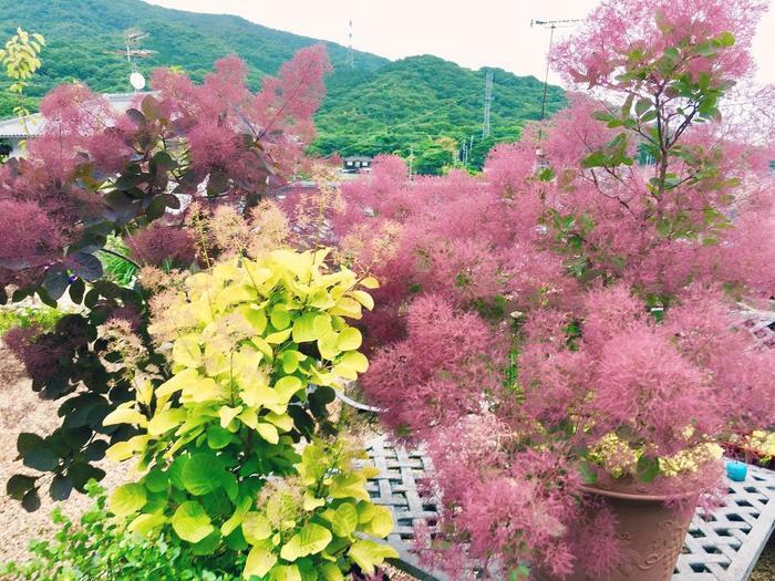 カラーリーフ樹木の中でもひと際鮮やかな色を持つロイヤルパープル。秋には美しい落葉が楽しめます。