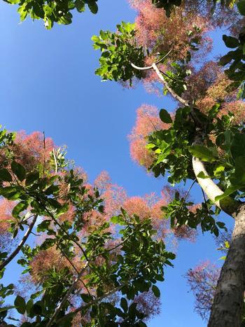 スモークツリーは暑さにも寒さにも強く、成長も早いのが特徴です。あまり手をかけなくても育ってくれるので、ガーデニング初心者さんにおすすめです。