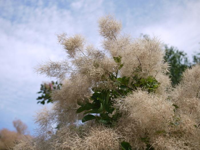 花つきが良く、スモークツリーらしいふわふわをしっかり堪能できる種類です。葉っぱは緑のものや赤紫のものがあります。