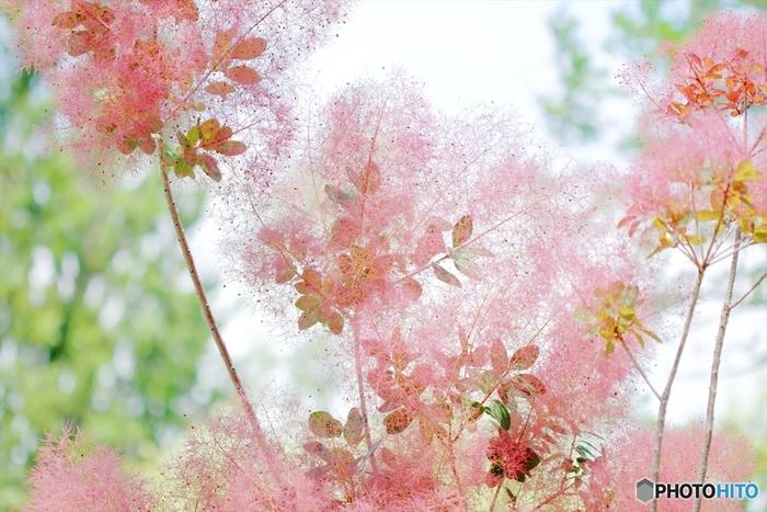 スモークツリーは種類が多く、淡緑、赤紫、ピンクなど様々な色があります。改良品種も出ているので、今後ますますバリエーションが広がりそう。