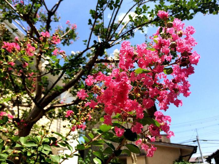 ツルツルの樹皮は猿すら登れないという意味で名付けられたサルスベリは、濃い紅色やピンク、白などの鮮やかな花が印象的で、お花好きの方に人気のある樹木です。漢字で「百日紅」と書く通り、一度咲いた枝先からも次々に芽が出るため、初夏から秋にかけて長く花を楽しめるのも魅力的。暑さや直射日光に強い分、日当りの悪い場所が苦手です。生長も早いので、定期的に剪定をしてあげましょう。