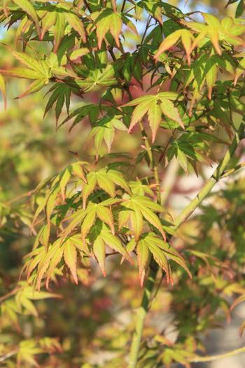 鮮やかな新緑から秋の紅葉、冬の落葉まで、一年を通じて四季の移ろいを見せてくれる樹木の代表と言えるモミジ。和風建築によく似合う佇まいで高い人気があります。日当たりのよいところを好みますが西日や乾燥にはあまり強くないので、夏の直射日光でせっかくの葉が焼けないよう、植える場所に気をつけてあげましょう。