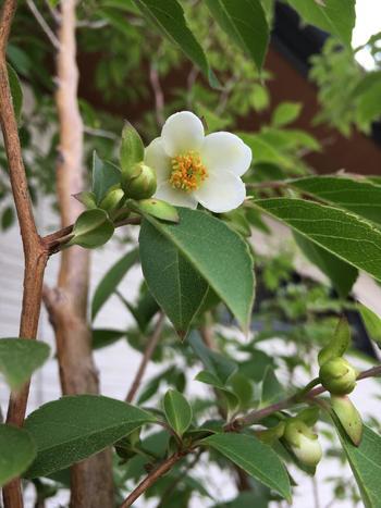 幹も枝も垂直に成長するため、剪定の手間はあまりかかりません。庭仕事に時間をかけられない人にもおすすめ。赤褐色のすべすべとした樹皮も綺麗で、初夏にはこんな可愛い白い花も楽しめますよ。