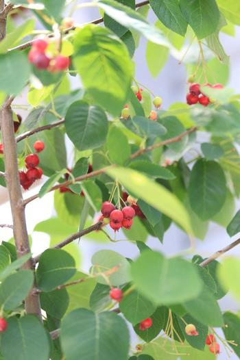 白くて可愛い花が枝にたっぷり咲く姿も素敵なジューンベリー。その名の通り、6〜7月頃にかけてブルーベリーに似た形の赤い実をつけます。甘酸っぱくて美味しい果実なので、鳥もたくさん集まって来るのだそう。木がよく育って実がたくさん収穫できたら、ジャムや果実酒にして味わうのも良いですね。