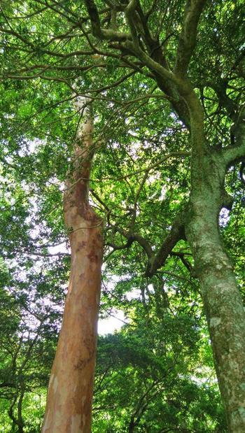ゆるやかな坂道を巡り歩けば、ブナやヒメシャラ、鳥の囀りや木々を揺らす風、緑や土の香りを感じながら、リラックスした一時を過ごせます。  【ヒメシャラ(姫沙羅/画像左)は、ツバキ科の落葉高木。7月から8月に白い花を咲かせる。(6月初旬撮影)】