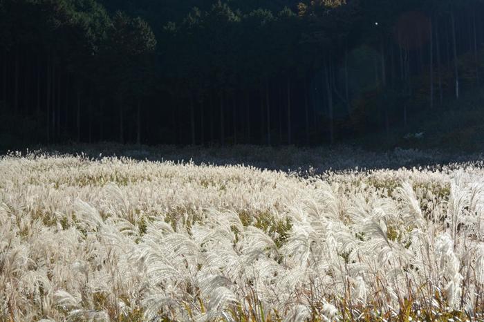 深緑の夏も。そして、芒の穂が黄金に輝かく秋も。 【11月初旬頃の「すすきの草原」】
