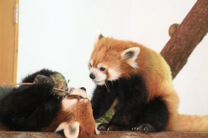 「レッサーパンダのおうち」では、ハンモックや、梁の上などで遊んだりくつろいだりするレッサーパンダを見学できます。愛くるしい姿に、時間を忘れて見入ってしまいそう。