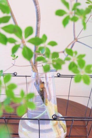固い枝ものは、水揚げが悪いので切り口に十文字の切り込みを入れて樹皮を剥いてから生けましょう。