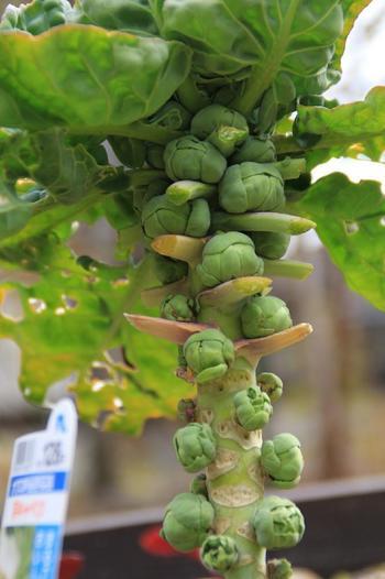 芽キャベツは丸くて小さな形の野菜。3ヶ月ほどで育ちますので夏に種まきをすれば、秋には収穫が可能に。プランターのサイズを大きくすれば、ベランダ菜園でも十分に育てられます。