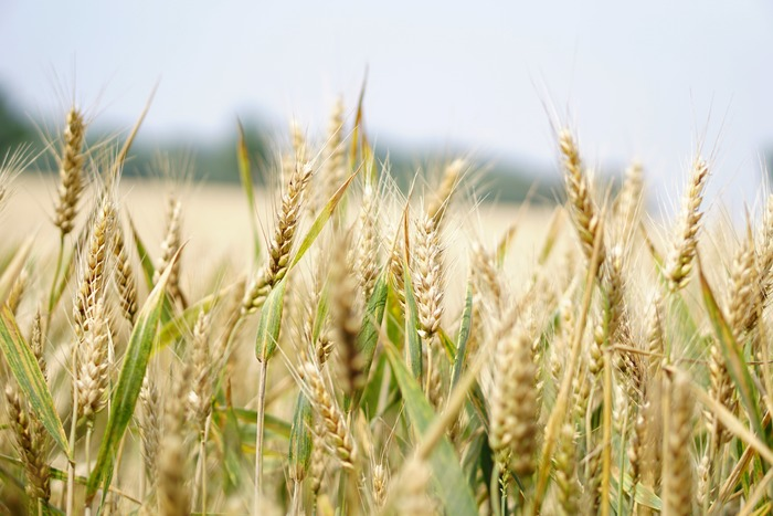 大麦を蒸して、ローラーなどでつぶしたものが「押し麦」です。「小麦粉」になる小麦とは違ってイネ科の植物である大麦。食物繊維が豊富なのが嬉しいですね。