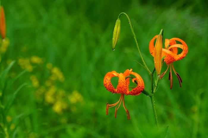 野草が燃ゆる春も。霧や雨に煙る梅雨時も。花々が咲き誇る初夏も。 【7月上旬の「箱根湿生花園」に咲く『コオニユリ』】