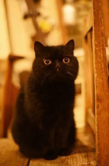 そして、店内写真や「猫レンタル」の部分でお気づきの人もいるかと思いますが…。お店には看板猫・エキゾチックショートヘアの「つなぎちゃん」もいます!いつもマイペースでのんびり、ときには抱っこもできる、人馴れしたおとなしい子です。
