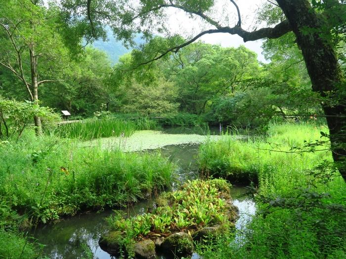 「箱根湿生花園」では、日本各地に点在する湿地帯の植物約200種、草原や林、高山に生息する植物約1100種、さらに海外の珍しい山野草等などを含む約1700種の植物を鑑賞することができます。 【川や湖沼周辺の湿原植物が生育する「低層湿原区」。8月中旬撮影】