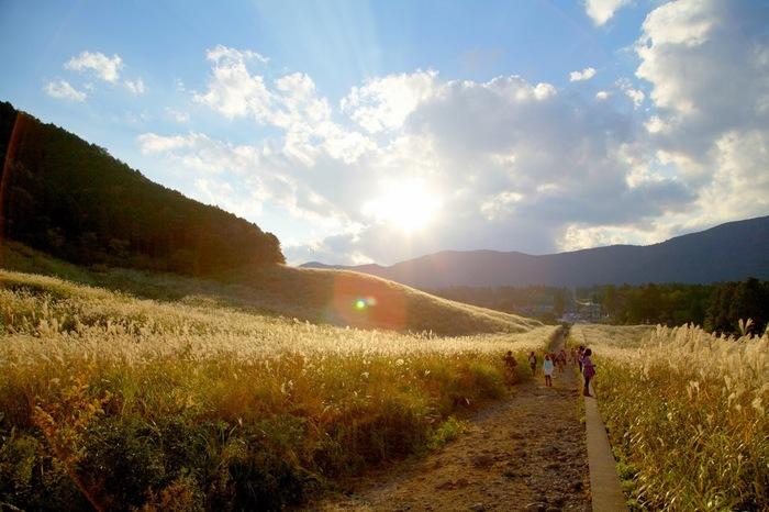 """仙石原を印象づける景色といえば、台ヶ岳の麓に広がる約18万㎡の「仙石原すすき草原」。古くから人気を誇る箱根を代表する名所の一つです。  """"かながわの景勝50選""""にも選ばれているように、風にたなびくススキの穂が陽の光に輝いている様は、息を呑むような美しさ。黄金の絨毯を、あたり一面に広げたような光景です。"""