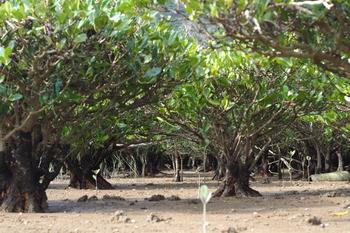 干潮時には、普段は足を踏み入れられない場所を歩くことができるという特典付きです。満潮時、干潮時とその姿を変える「マングローブ原生林」は、何度でも訪れてみたい場所ですね。