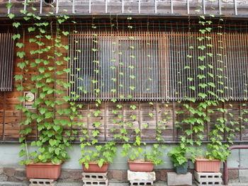 グリーンカーテンにチャレンジするのもおすすめです。植物は葉から水の蒸発をおこなうので、すだれよりも冷却効果が高いと言われています。日差しを遮るだけでなく、周囲の気温も下げてくれるんですよ◎