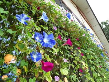 朝顔など夏のお花を育てて、成長過程を楽しみながらグリーンカーテンを作るのもおすすめ。温暖化対策など、メリットがたくさんあるのがうれしいですね。