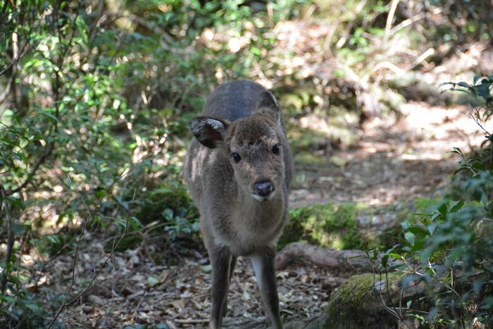 縄文杉へと歩いていると、野生のシカと出会うことが度々あります。ヤクシカと呼ばれ神々の使いという伝説もあるほど。そんな神聖なシカに出会うことができたら、幸せやパワーをもらえそう。トレッキングの力となること間違いなし!