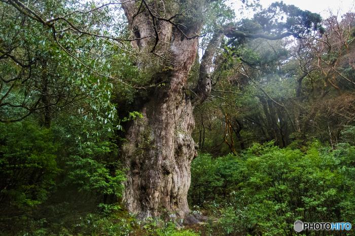 屋久島と聞いて最初に思い浮かぶのが、最大級の屋久杉である「縄文杉」という方も多いでしょう。知名度がある縄文杉ですが、見に行くための登山は簡単ではないので、実際に見たという方は少ないかもしれません。登山時間は荒川登山口からの往復で大体10時間程度で、トロッコ道、山道を歩きます。体力も気力も必要だからこそ、縄文杉を目の前にしたときに感動は大きなものになるでしょう。