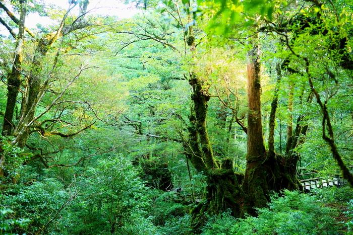 宮之浦空港から車で約65分、「ヤクスギランド」は屋久杉の森の中でのハイキングを楽しむことができるスポットです。30分、50分、80分、150分の4つのコースが設定されているので、時間や体力と相談してコースを選びましょう。