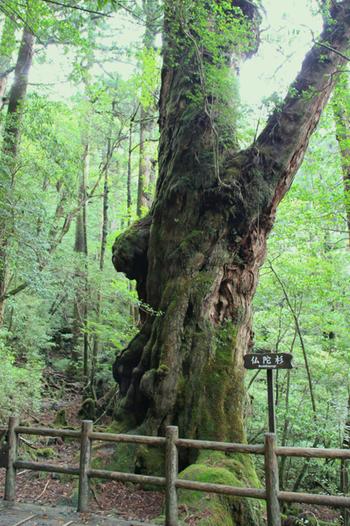 「ヤクスギランド」には、樹齢1,800年とも言われる仏陀杉(ぶっだすぎ)や、三根杉(みつねすぎ)、天柱杉(てんちゅうすぎ)などの巨大な木があります。短いコースもあるので、ぜひハイキングにトライしてみてくださいね。