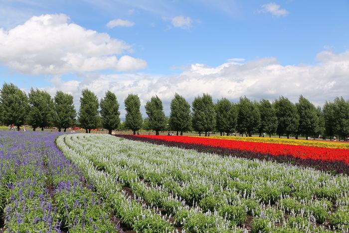 「花人の畑」、「倖の畑」、「春の彩りの畑」、「秋の彩りの畑」、「彩りの畑」、「森の彩りの畑」、「トラディショナルラベンダー畑」などからなる広大なお花畑、ファーム富田は中富良野町を代表する観光名所の一つです。