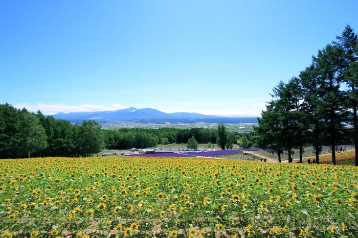 花々の心地よい香りに包まれながらお花畑の丘を登りきると素晴らしい眺望が待っています。抜けるような青空、美しい稜線を描いた大雪山系の峰々、大地を覆う色鮮やか花々……。ここでは息をすることさえも忘れてしまう程の景色に出逢うことができます。