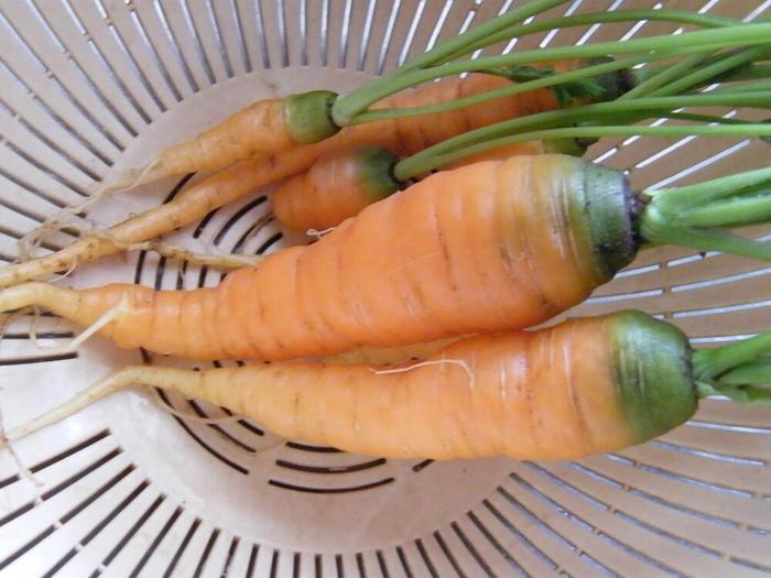 お料理でも定番の野菜として使われることの多い人参。発芽させるのに手間がかかりますが、1年中楽しむことができる野菜です。プランターで育てる際は根が小さく育つミニ人参がおすすめ。夏に種まきをすることで、害虫被害を軽減できるメリットもあります。