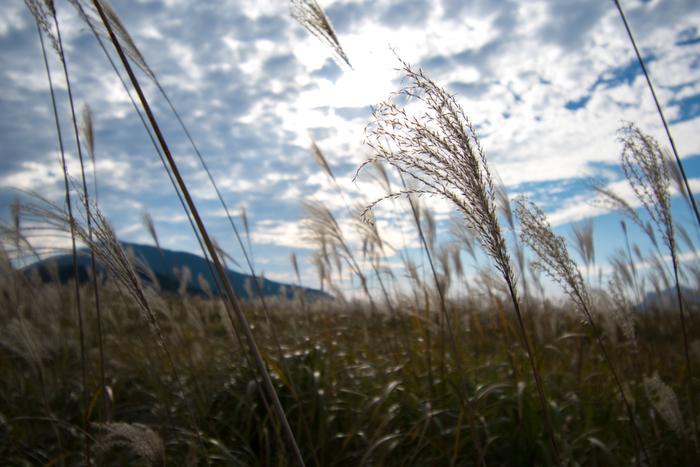 日本を代表するススキの名所として知られている曽爾高原では、秋になると一面のススキ野原となります。陽射しを浴びて銀色に輝くススキの穂は、風が吹く度に揺れ動き、幻想的な景色へと変貌します。