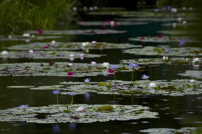 例えばモネの名作のひとつ「睡蓮」が、目の前で現実の庭園となって現われます。