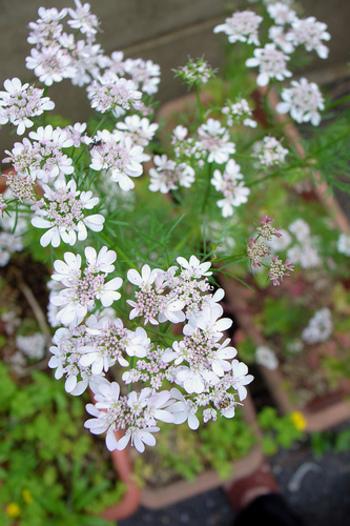パクチーは一年草なので、花が咲くと種をつけ、その後枯れてしまいます。花が咲いたら葉も硬くなっていきます。パクチーの花は食べることもできるので、エディブルフラワーとしてサラダなどに飾ってあげるのもいいですね。