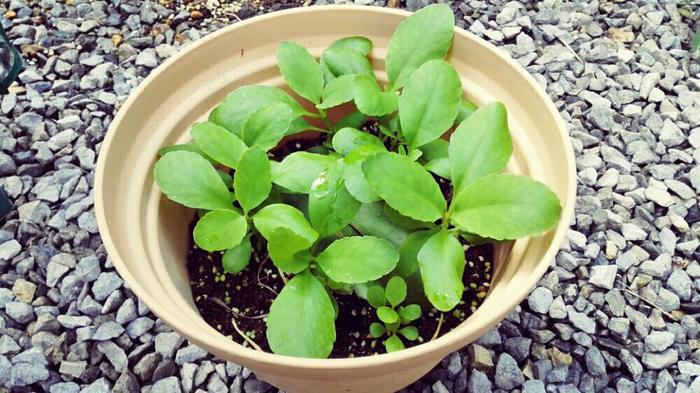 芽がぐんぐん育つと葉っぱがどんどん大きくなり、こんな感じに育っていきます。