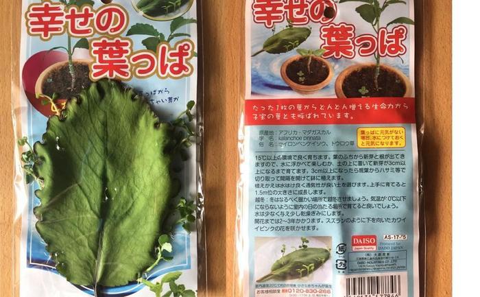 1枚の葉っぱからたくさんの小さな芽が出る可愛らしい植物、マザーリーフ。 正式名称は、『セイロンベンケイソウ』と言います。 神秘的で不思議なマザーリーフには、様々な別名があり、ハカラメ(葉から芽)、ミラクルリーフ、灯篭草、子宝草、幸せの葉っぱ、グッドラックリーフ、ハッピーリーフなどと呼ばれています。どれも、幸せがぱっと広がりそうな名前ですね。