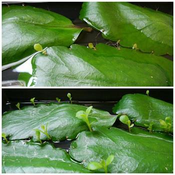 マザーリーフは、暑さや乾燥に強く、植物を育てるのが初めてという方にも育てやすい植物です。寒さにはちょっぴり弱いですが、寒い日にはお部屋の中に置いておけば大丈夫。育て方は、水栽培と鉢植え栽培の2種類です。