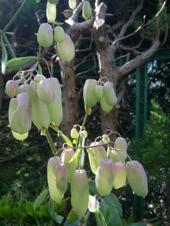 めったに咲かないと言われているマザーリーフの花ですが、上手に育てればこんな不思議な花が鈴なりに咲くのを見ることが出来るかもしれません。花が咲く時期が12月から春にかけての寒い時期なので、日本では花が見られるのは少ないそうで幻の花と呼ばれています。花を見ることが出来たら幸せが舞い込んで来そうな気がしますね。