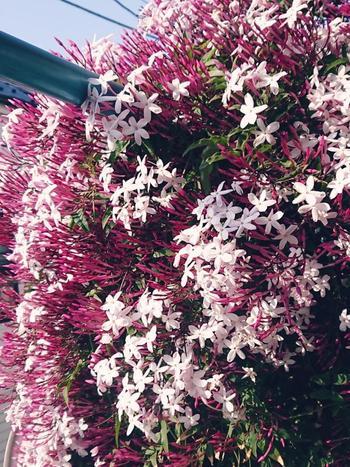 甘く優美な香りが人気のジャスミン。海外ではウエディングブーケにもよく使われている花材なんです。 やわらかな白い小花は、単体でも存在感たっぷりですが、他の花と合わせても素敵です。