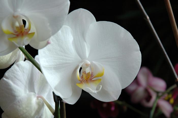 ギフトとしても定番のランは、その優美な姿から「花の女王」と呼ばれて愛されています。 花言葉も「貴婦人」「優雅」「幸せが飛んでくる」等、豪華なものばかり。ランは種類がとても多く、色や形によって多くの花言葉が伝えられています。どれも素敵な言葉ばかりなので、花言葉から選んでみるのも良いですね。