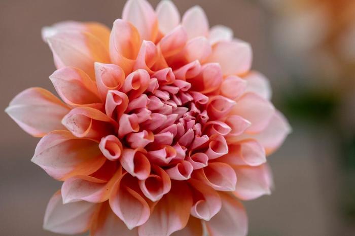 ダリアは昔から世界中で愛されてきた花です。花言葉も「栄華」「感謝」「華麗」ととてもゴージャス。晴れの日にぴったりの花言葉ばかりですね。ご両親への花束にもいかがでしょうか?